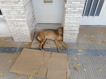 Average Galgo (Spanish Greyhound)